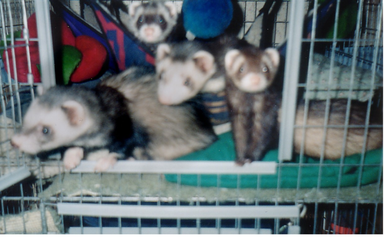 All 4 of my ferrets